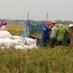 Keriangan dan Kesibukan Petani Saat Panen Padi di Lamongan JaTim